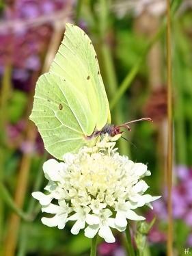 2021-07-25 LüchowSss Garten Zitronenfalter (Gonepteryx rhamni) + Gelb-Skabiosen (Scabiosa ochroleuca) (1)