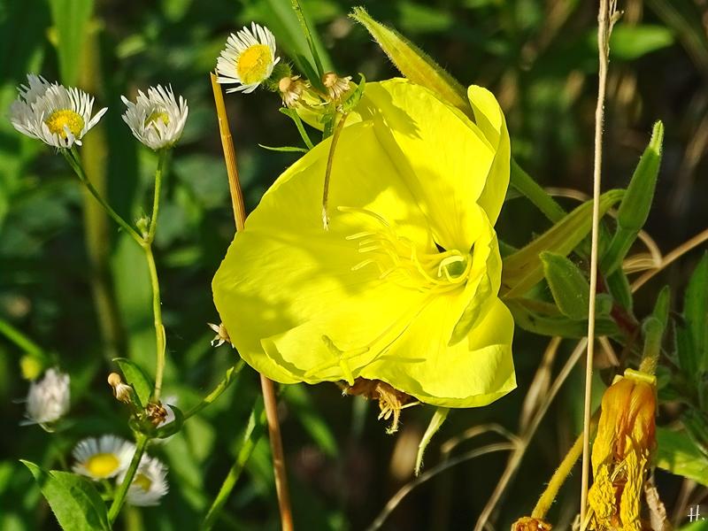 2021-07-30 LüchowSss Garten Gew. Nachtkerze ( Oenothera biennis agg.) m. grossen Blüten
