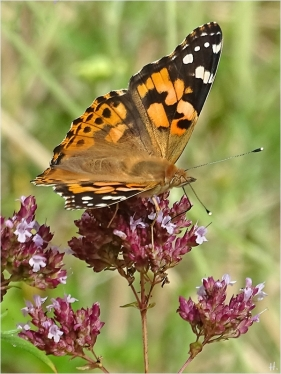 2021-08-01 LüchowSss Garten Wilder Dost (Origanum vulgare) + Distelfalter (Vanessa cardui) (1)
