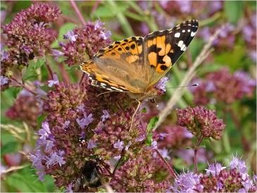 2021-08-01 LüchowSss Garten Wilder Dost (Origanum vulgare) + Distelfalter (Vanessa cardui) (2)