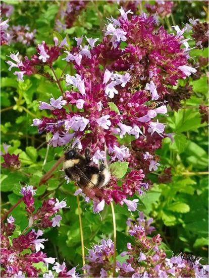2021-08-01 LüchowSss Garten Wilder Dost (Origanum vulgare) + Kryptarum-Erdhummel (Bombus cryptarum)