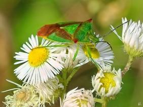 2021-08-01 LüchowSss Garten Wipfel-Stachelwanze (Acanthosoma haemorrhoidale) auf Feinstrahl (Erigeron annuus) (3)