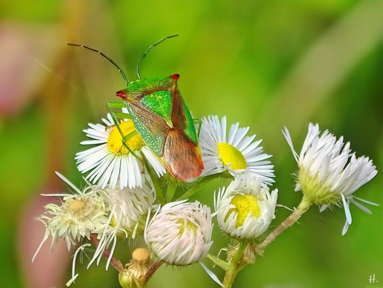 2021-08-01 LüchowSss Garten Wipfel-Stachelwanze (Acanthosoma haemorrhoidale) auf Feinstrahl (Erigeron annuus)