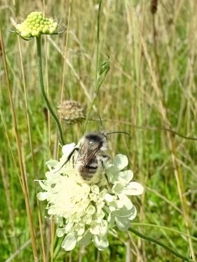 2021-08-04 LüchowSss Garten Gelb-Skabiosen (Sacbiosa ochroleuca) + Sandhummel (Bombus veteranus) (1A)