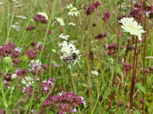 2021-08-04 LüchowSss Garten Gelb-Skabiosen (Sacbiosa ochroleuca) + Wilder Dost (Origanunm vulgare) + Sandhummel (Bombus veteranus) (3)