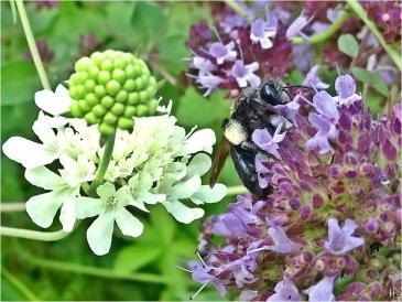 2021-08-04 LüchowSss Garten Wilder Dost (Origanum vulgare) + Schwarze Köhler-Sandbiene (Andrena pilipes) + Gelb-Skabiose (Scabiosa ochroleuca)