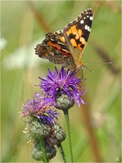2021-08-05 LüchowSss Garten Distelfalter (Vanessa cardui) + Flockenblume (Centaurea spec.) (1)