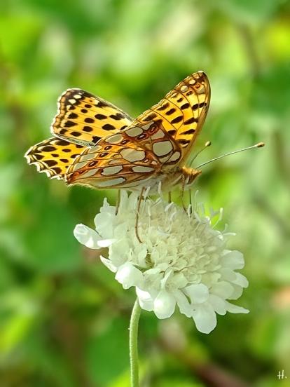 2021-08-05 LüchowSss Garten Gelb-Skabiosen (Scabiosa ochorleuca) + Kl. Perlmuttfalter (Issoria lathonia)