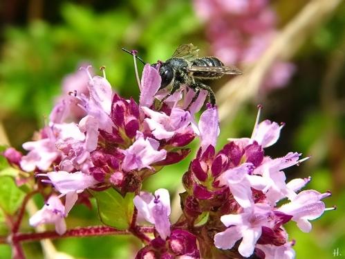 2021-08-07 LüchowSss Garten Wilder Dost (Origanum vulgare) + Wildbiene (vermutl. Megachile spec.) (2)