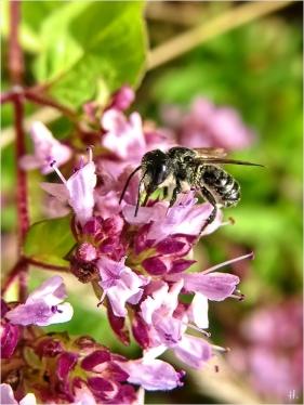 2021-08-07 LüchowSss Garten Wilder Dost (Origanum vulgare) + Wildbiene (vermutl. Megachile spec.) (3)