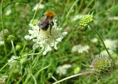 2021-08-13 LüchowSss Garten Gelb-Skabiose (Scabiosa ochroleuca) + Ackerhummel (Bombus pascuorum) (1)