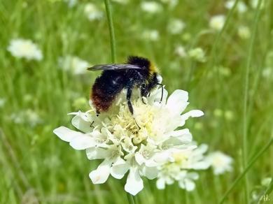 2021-08-13 LüchowSss Garten Gelb-Skabiose (Scabiosa ochroleuca) + Felsen-Kuckuckshummel (Bombus (Psithyrus) rupestris) (2)