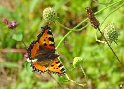 2021-08-13 LüchowSss Garten Gelb-Skabiosen (Scabiosa ochroleuca) + Kl. Fuchs (Aglais urticae) (2)