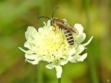 2021-08-13 LüchowSss Garten Gelbbindige Furchenbiene (Halictus scabiosae) m. + Gelb-Skabiose (Scabiosa ochroleuca) (1)