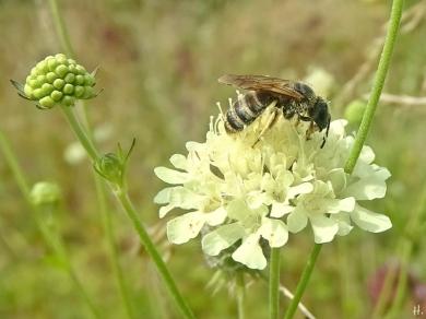 2021-08-13 LüchowSss Garten Gelbbindige Furchenbiene (Halictus scabiosae) weibl. + Gelb-Skabiose (Scabiosa ochroleuca) (1)