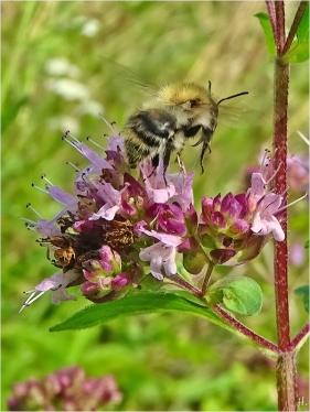 2021-08-13 LüchowSss Garten Wilder Dost (Origanum vulgare) + Ackerhummel (Bombus pascuorum) (2)
