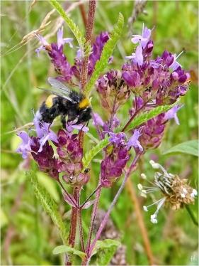 2021-08-13 LüchowSss Garten Wilder Dost (Origanum vulgare)+ Erdhummel (Bombus lucorum-terrestris-agg.)