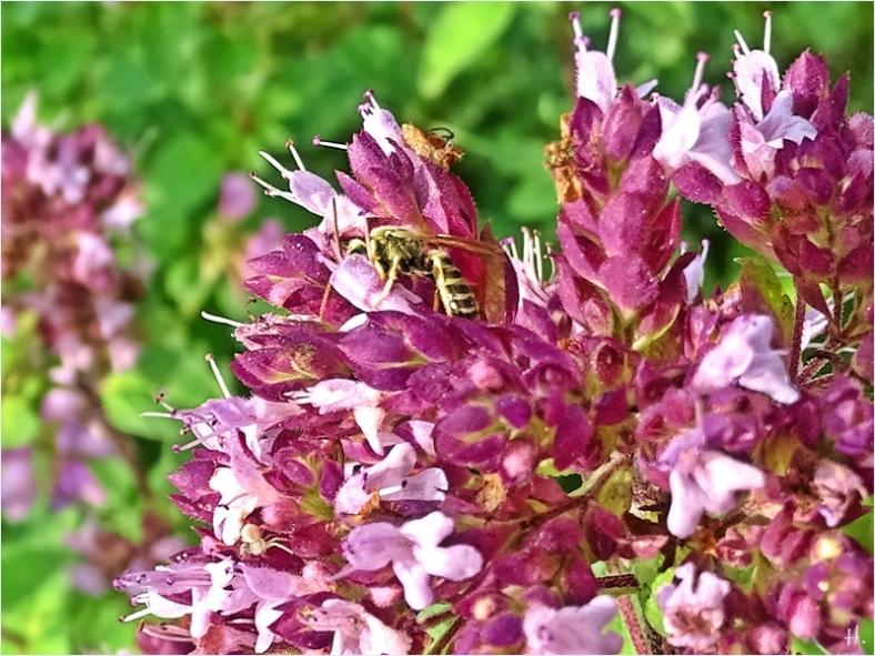 2021-08-13 LüchowSss Garten Wilder Dost (Origanum vulgare) + Furchenbiene (Halictus)