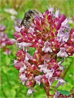2021-08-13 LüchowSss Garten Wilder Dost (Origanum vulgare) + vermutl. Düsterbiene (Stelis spec.) (1)