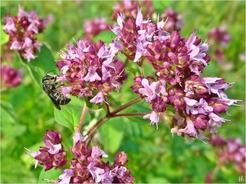 2021-08-13 LüchowSss Garten Wilder Dost (Origanum vulgare) + vermutl. Düsterbiene (Stelis spec.) (2)