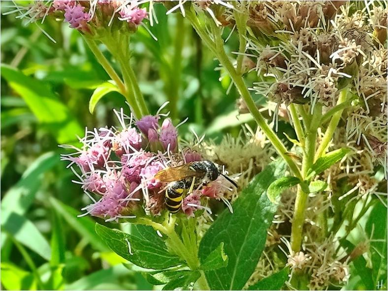 2021-08-15 LüchowSss Garten Bienenwolf (Philanthus triangulum) + Wasserdost (Eupatorium cannabinum)