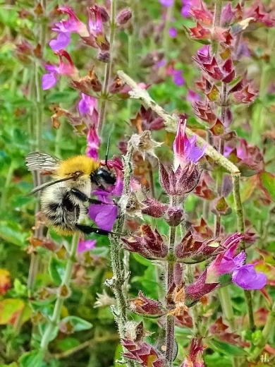 2021-08-15 LüchowSss Garten Immergrüner Gamander (Teucrium x lucidrys) + Ackerhummel (Bombus pascuorum)