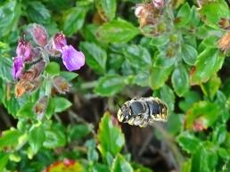 2021-08-15 LüchowSss Garten Immergrüner Gamander (Teucrium x lucidrys) + Gr. Wollbiene (Anthidium manicatum) (2)