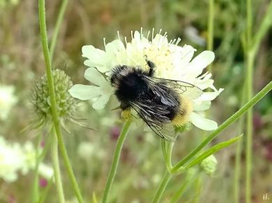 2021-08-19 LüchowSss Garten Gelb-Skabiosen (Scabiosa ochroleuca) + evtl. Felsen-Kuckuckshummel (Bombus ruprestris) (2)