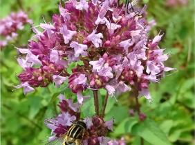 2021-08-19 LüchowSss Garten Wilder Dost (Origanum vulgare) +Igelfliege (Tachina fera) + männl. Gr. Sumpfschwebfliege (Helophilus trivittatus)