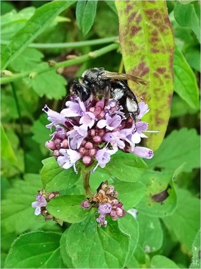 2021-08-19 LüchowSss Garten Wilder Dost (Origanum vulgare) + Köhler-Sandbiene (Andrena pilipes)