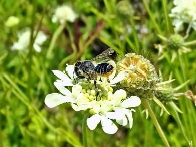 2021-08-23 LüchowSss Garten Gelb-Skabiose (Scabiosa ochroleuca) + Bunte Blattschneiderbiene (Megachile versicolor) (1)