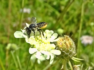 2021-08-23 LüchowSss Garten Gelb-Skabiose (Scabiosa ochroleuca) + Bunte Blattschneiderbiene (Megachile versicolor) (2)