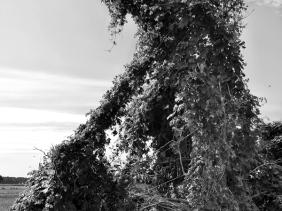 2021-08-25 b. LüchowSss Feldmark-Spaziergang Hopfen-'Skulptur' schwarzweiss