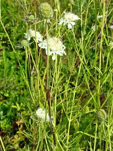 2021-08-27 LüchowSss Garten Gelb-Skabiosen + braune Libelle