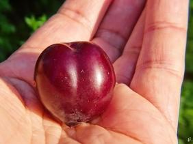 2021-07-27 LüchowSss Garten unbek. Pflaume, Wildpflaume (Prunus 'X')