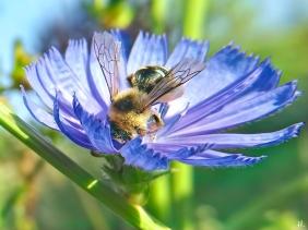 2021-07-27 LüchowSss Garten Wegwarte (Cichorium intybus) + Rauhfüssige Hosenbiene (Dasypoda hirtipes) weibl. (3)