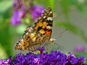 2021-08-04 LüchowSss Garten Distelfalter (Vanessa cardui) + Schmetterlingsflieder (Buddleja davidii) (2)