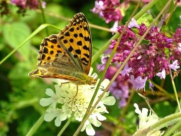 2021-08-05 LüchowSss Garten Kl. Perlmuttfalter (Issoria lathonia) auf Gelb-Skabiose (Scabiosa ochroleuca) + Wilder Dost (Origanum vulgare) (3)