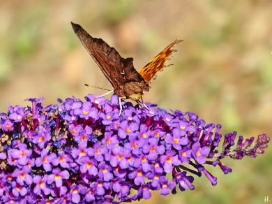 2021-08-15 LüchowSss Garten C-Falter (Polygonia c-album) + Schmetterlingsflieder (Buddleja davidii)