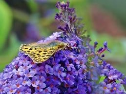 2021-08-15 LüchowSss Garten Kl. Perlmuttfalter (Issoria lathonia) + Schmetterlingsflieder (Buddleja davidii) (1)