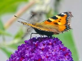 2021-08-15 LüchowSss Garten Kleiner Fuchs (Aglais urticae) + Schmetterlingsflieder (Buddleja davidii)