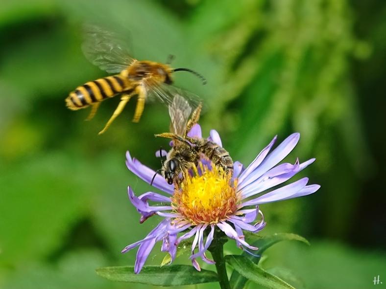 2021-08-21 LüchowSss Garten 2 Gelbbindige Furchenbienen (Halictus scabiosae) m + w an Herbstaster bzw. (Neubelgischer Glattblatt-Aster (Symphyotrichum novi-belgii)
