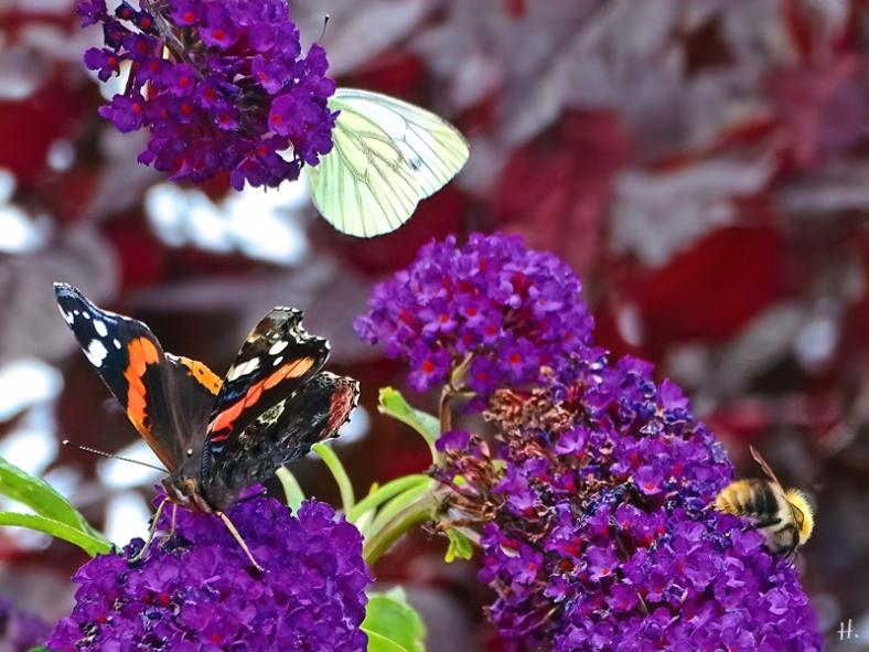 2021-08-21 LüchowSss Garten Admiral (Vanessa atalanta) + Grünader-Weissling (Pieris napi) + Ackerhummel (Bombus pascuorum) + Schmetterlingsflieder (Buddleja davidii)