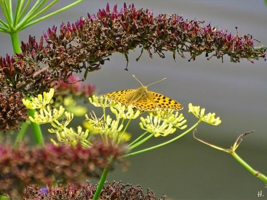 2021-08-21 LüchowSss Garten Kl. Perlmuttfalter (Issoria lathonia) + Schmetterlingsflieder (Buddleja davidii) + Fenchel (Foeniculum vulgare)