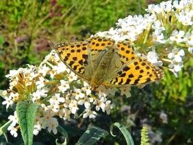 2021-08-31 LüchowSss Garten Kl. Perlmuttfalter (Issoria lathonia) + weisser Schmetterlingsflieder (Buddleija)