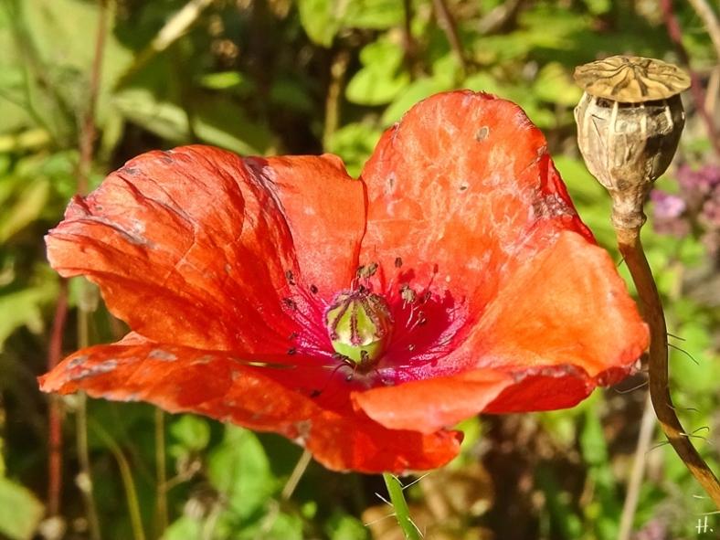2021-08-31 LüchowSss Garten Klatschmohn (Papaver rhoeas) (2)