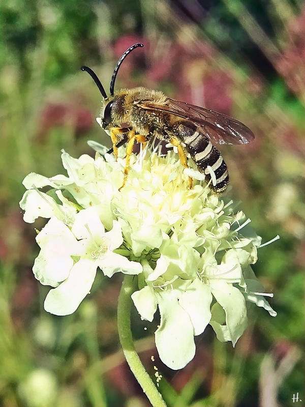 2021-09-04 LüchowSss Garten Gelbbindige Furchenbiene (Halictus scabiosae) + Gelb-Skabiose (Scabiosa ochroleuca)