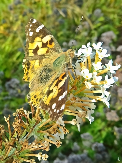 2021-09-06 LüchowSss Garten Distelfalter (Vanessa cardui) + weisser Schmetterlingsflieder (Buddleija)