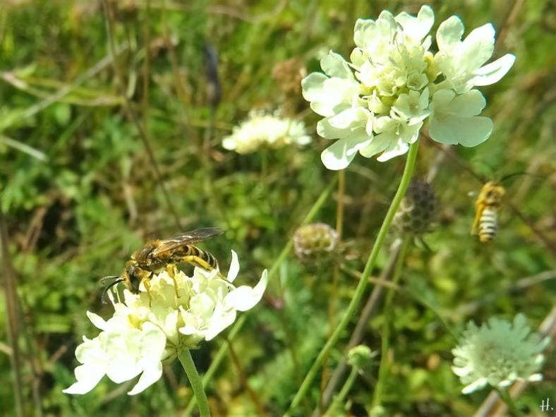 2021-09-09 LüchowSss Garten 2 Gelbbindige Furchenbienen (Halictus scabiosae) + Gelb-Skabiose (Scabiosa ochroleuca) (1)
