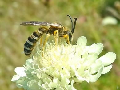 2021-09-09 LüchowSss Garten Gelbbindige Furchenbienen (Halictus scabiosae) Männchen v. seitlich + Gelb-Skabiose (Scabiosa ochroleuca) (4)
